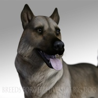 Breeds for the HW Dog - Norwegian Elkhound